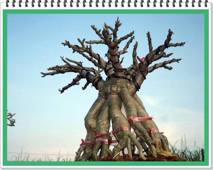 ต้นนี้เป็นไม้ตอนแบบไม่มีลำต้น จากฝีมือการปลูกเลี้ยงของโอภาส อ่างทอง